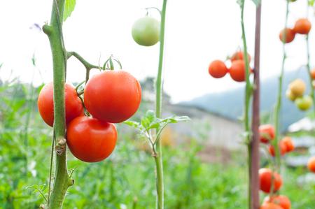 Rijpe biologische tomaten in de tuin klaar om te oogsten, verse tomaten Stockfoto - 90599086