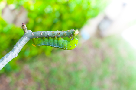 Caterpillar worm eating leaves nature in the garden