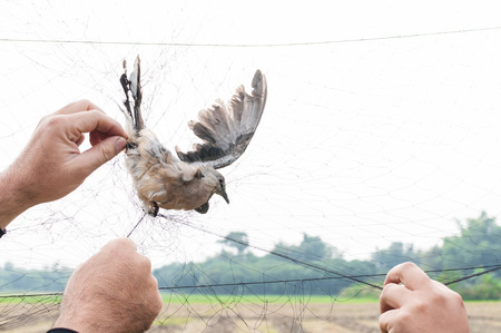 Bird were caught by gardener hand holding on a mesh on white background,Illegal Bird Trap