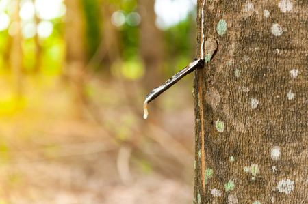 Natural latex para dripping from a rubber tree at a rubber tree plantation