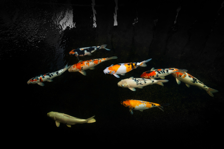 Beautiful carp koi fish swimming in pond in the garden4 Stock Photo