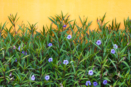 Purple flowers and yellow wall in the spring colors flowers for background Foto de archivo