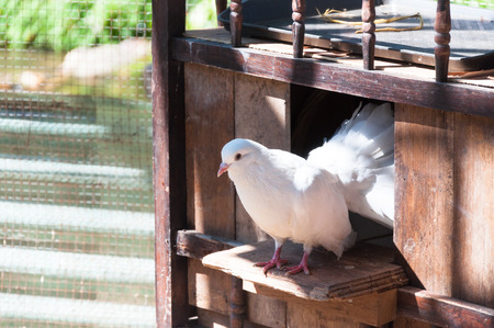 White Pigeons are sitting in the window of their wooden house. Banque d'images - 107203303