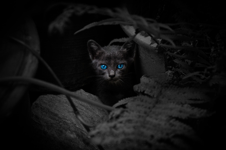 Black cat with beautiful blue eyes,Animal portrait Black kitten