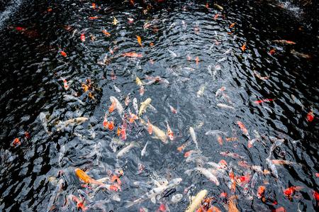 Beautiful carp koi fish swimming in pond in the garden