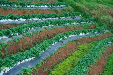 Strawberry Farm,Agriculture farm of strawberry field in Thailand Reklamní fotografie