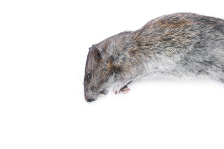 Dead rat  isolated on a white background