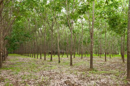 Row of para rubber plantation in South of Thailand,rubber trees