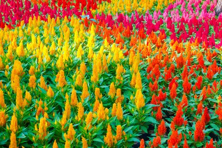 Colorful celosia flower in the garden.Beautiful Floral Background