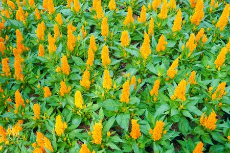 Colorful celosia yellow flower in the garden.Beautiful Floral Background