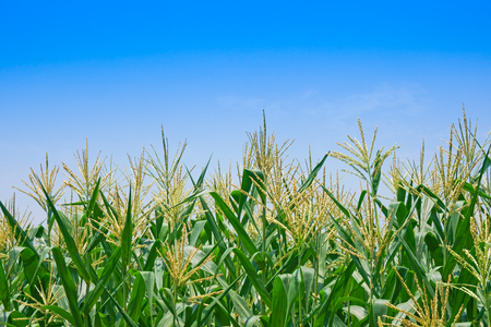 Corn field in clear day, Corn tree at farm land with blue cloudy Sky,Agricultural Industry Commission