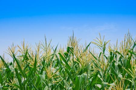 Maisfeld bei klarem Tag, Maisbaum auf Ackerland mit blauem bewölktem Himmel, Kommission für die Landwirtschaftsindustrie Standard-Bild