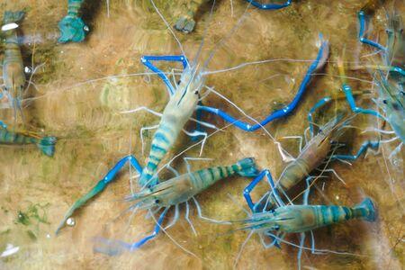 Crevettes fraîches dans l'étang en ciment du restaurant de fruits de mer à vendre pour cuisiner le repas. Crevettes dans l'étang