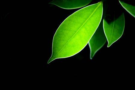 Transparent green leaf with black background