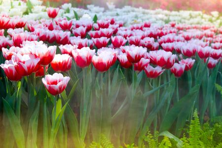 The beautiful blooming tulips in garden.tulips flower close up under natural lighting outdoor