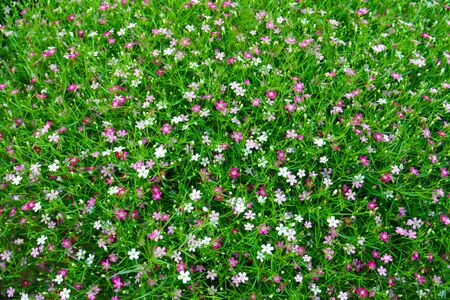 Bush of pink and red Gypsophila flower at the garden,Beautiful gypsiphila flower for background Stockfoto