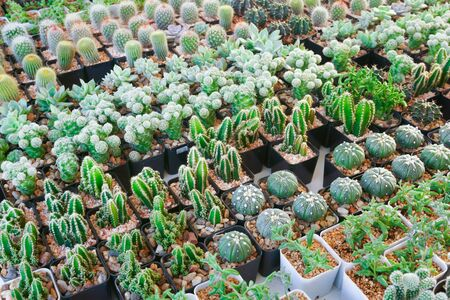 Cactus small there are many varieties in a pot. Placed in many small pots