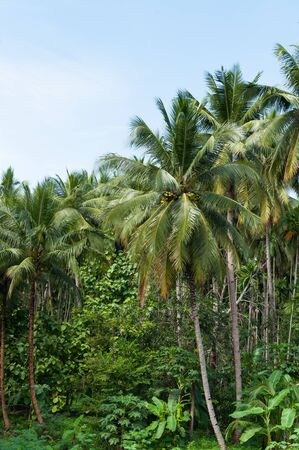 Beautiful coconut palms trees in the Tropical forest with blue sky at Island in Thailand