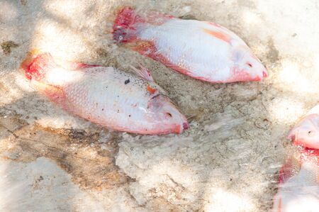 fresh red tilapia in water Farm,fish in the cage, fish farming in Thailand Stockfoto