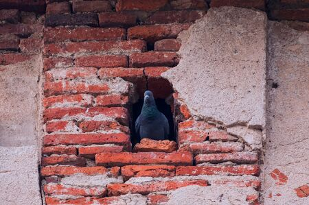Beautiful shot of a gray pigeon(doves) sitting in its nest in a hole in the old red brick wall background Stock Photo