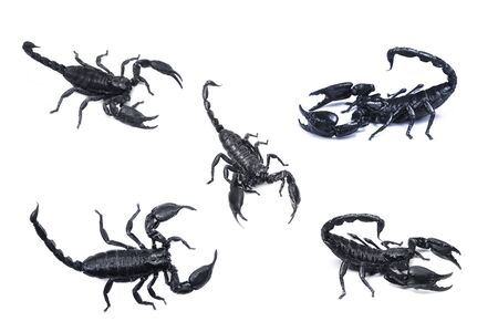 Emperor Scorpion,(Pandinus imperator) isolated on white background. Insect.poisonous sting at the end of its jointed tail, which it can hold curved over the back.Most kinds live in tropical and subtropical areas.