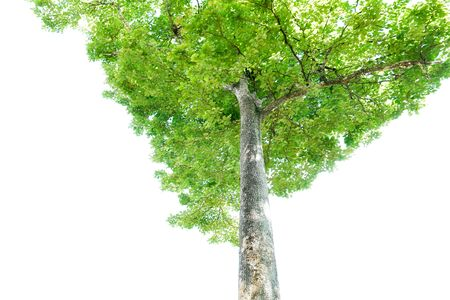 Green leaves and big tree isolated on white background Stock Photo