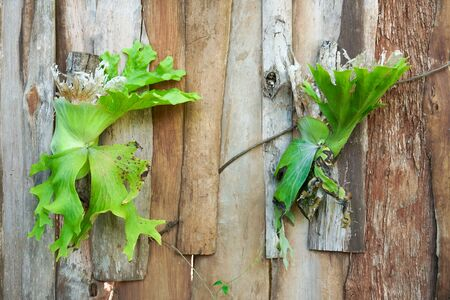 Platycerium superbum on wooden wall, Green staghorn fern species of fern nature at garden
