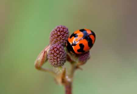 ladyfly: red Lady Bug with green background.