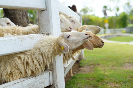 woolly: White sheep on the fence
