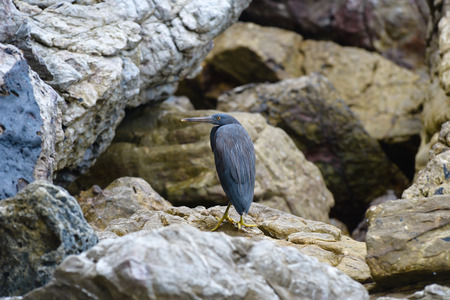 Pacific reef egret on the rock photo