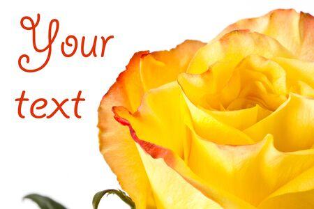 yellow rose close up on white background photo