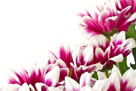 美麗的花束在白色背景上紅色的菊花
