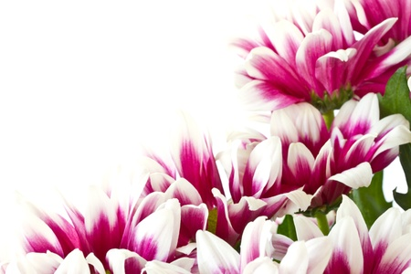 chrysanthemums: beautiful bouquet of red chrysanthemums on a white background