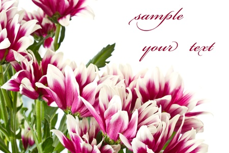 beautiful bouquet of red chrysanthemums on a white background photo