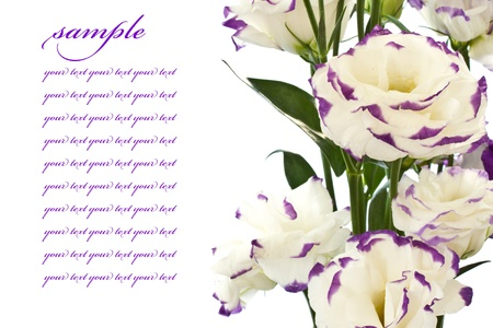 purple roses: beautiful white flowers on a white background Stock Photo