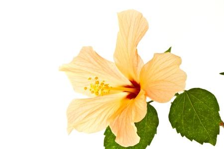 belle fleur d'hibiscus grande sur un fond blanc Banque d'images