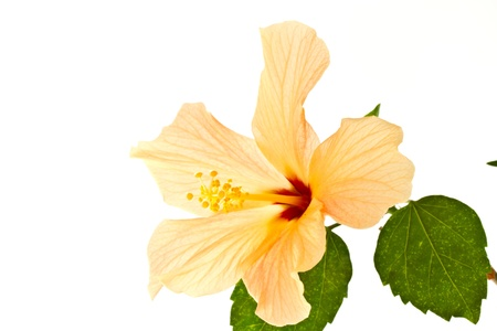 nice big hibiscus flower on a white background