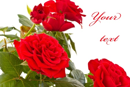 red bush: flowering bush of red roses on a white background Stock Photo