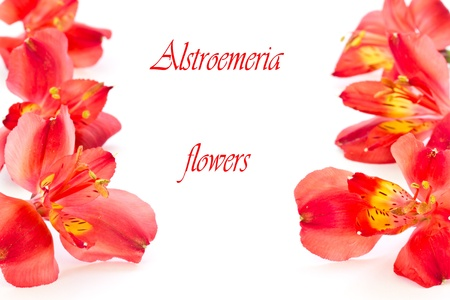 alstromeria: red flowers on a white background alstroemerias