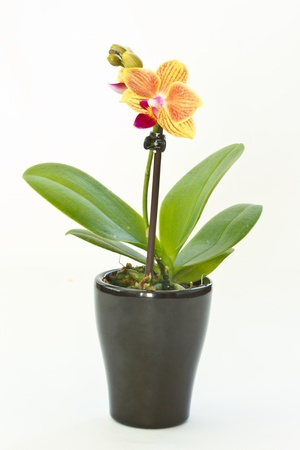 orange flower phalaenopsis growing in a pot photo