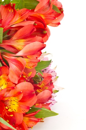 beautiful flowers of red on a white background Alstroemeria photo