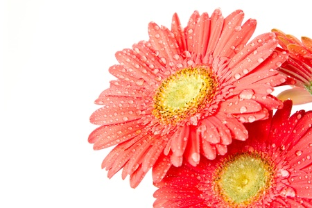 red gerbera beautiful flowers on a white background photo