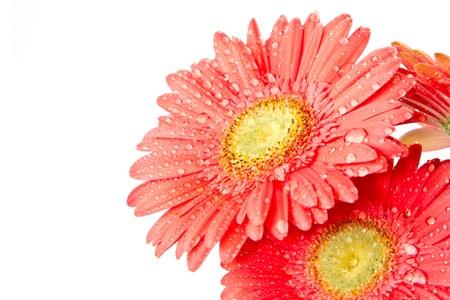 rode gerbera mooie bloemen op een witte achtergrond