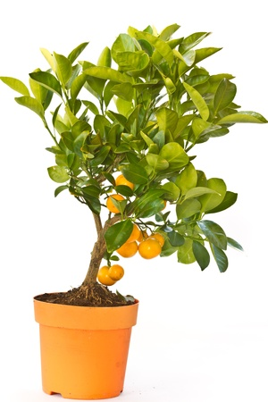 tangerine tree with fruit on a white background photo