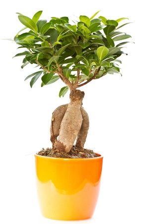 ficus: bonsai ficus tree from the pot on a white background
