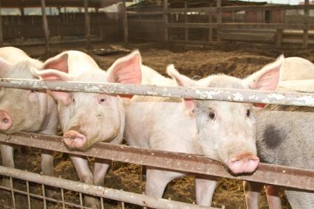 roze varken met grote oren op een varkensbedrijf
