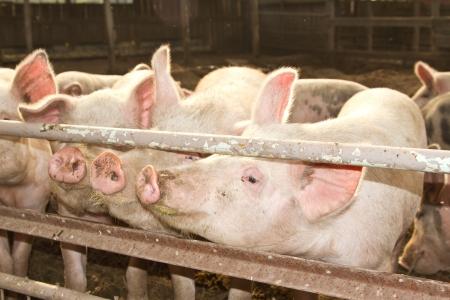 cerdos: Piglet tres cerdos en una granja de cerdos