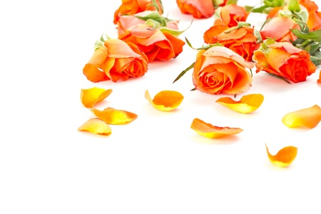 Beautiful orange roses and petals on a white background photo