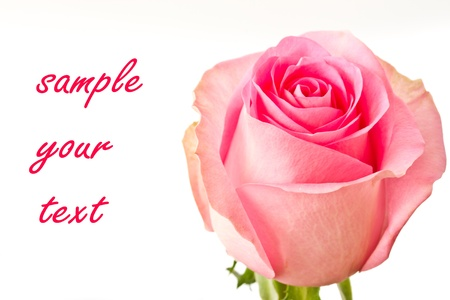 beautiful natural pink rose on white background photo