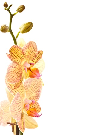 beautiful phalaenopsis orchid varietals on a white background photo